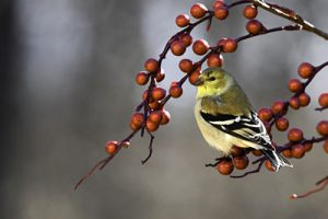 Great Backyard Bird Count starts worldwide Feb. 12th