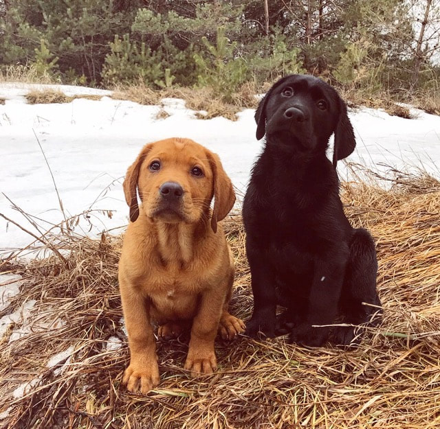 A golden lab and black lab