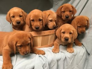 Puppies popular: Local breeder received 50 emails a day